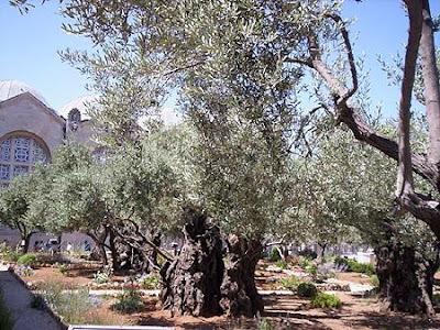 Gethsemene Olive Tree
