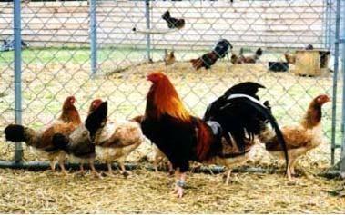 pelea de gallos vicente fernandez descargar antivirus