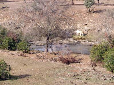 Vaca en Despeñaperros