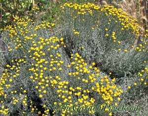 Yellow Flowers of Santolina Tough Drought Tolerant Shrubs from theGardenPages