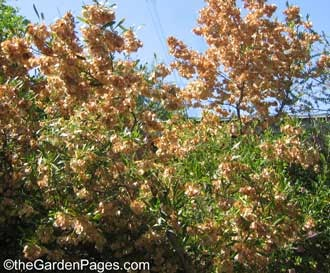 Thegardenpages so cal gardening blog hopseed bush or for Fast growing drought tolerant trees