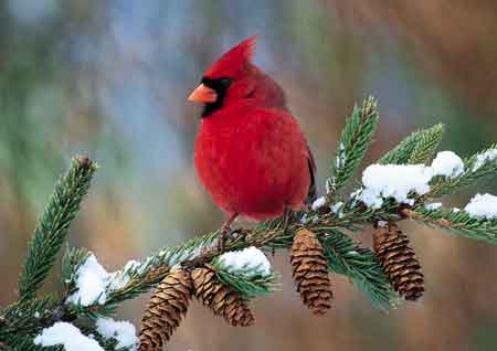 Cardinal Bird Snow on Studio Hewitt  Cardinals In The Snow
