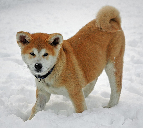 Akita Fully Grown