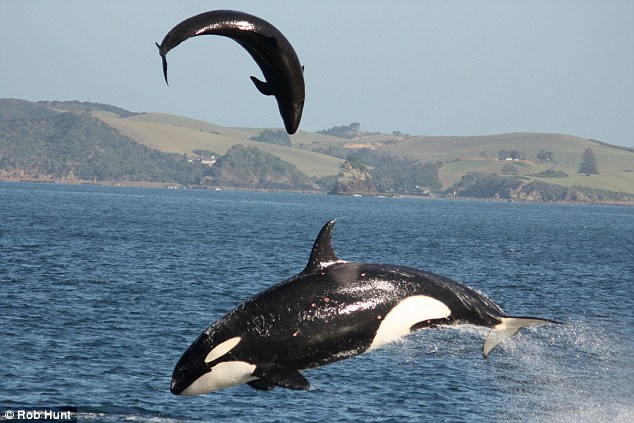 Killer Whale Attacks Dolphin