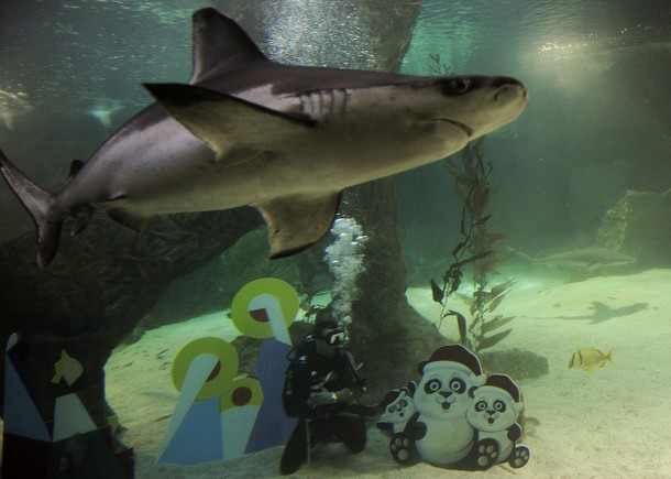 Thai panda sharks swim around a nativity scene and other for Aquarium scuba diver decoration