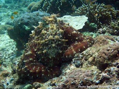 Octopus, Napoleon Reef, Pemuteran
