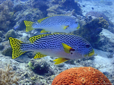 Oriental Sweetlips, Close Encounters, Pemuteran, NW Bali, Sea Rovers Dive Centre