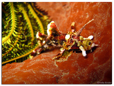 Hella & Wayan's, Flamboyant dreadlocks scorpionfish, coral Bommie, Pemuteran, NW Bali