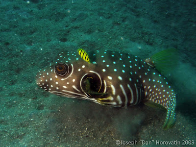 A Puffer fish, Mucky Pirates Bay, Pemuteran