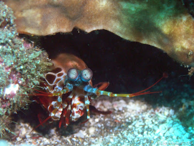 Yet another Mantis Shrimp, Pemuteran, Bali