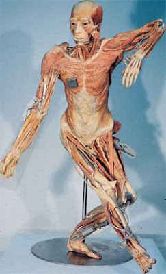 Posing a human cadaver for public exhibition