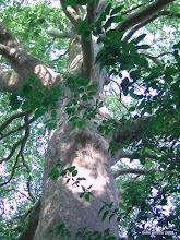 Havens kæmpe platantræ