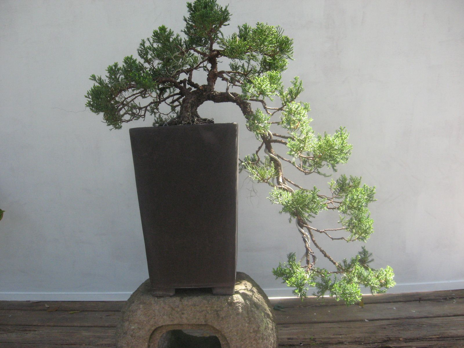 Bonsai Beginnings Juniperus Procumbens 39Nana39