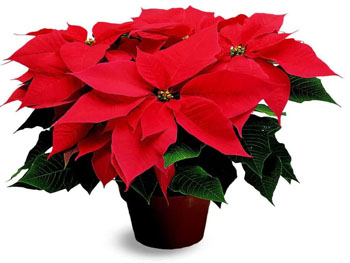 Although the poinsettia