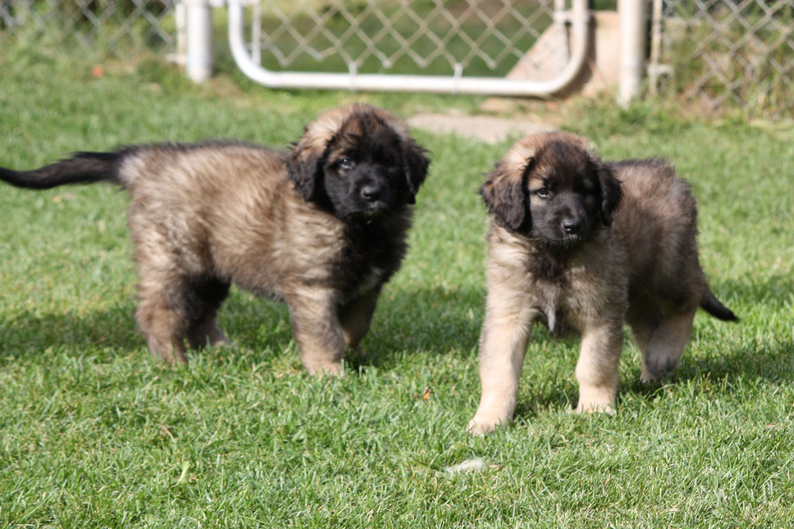 Displaying 18 gt images for leonberger puppy