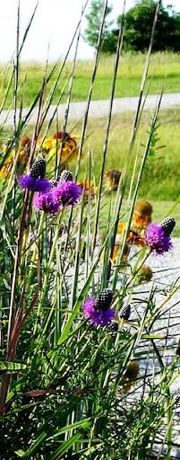 Purple prairie clover (Petalostemum purpureum)