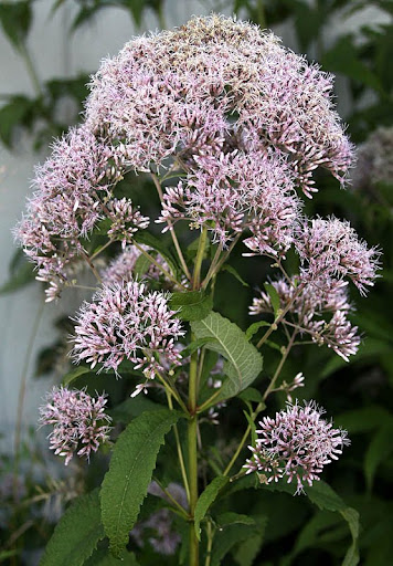 Purple Joe-Pye weed (Eupatorium purpureum)