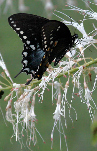 Spicebush Swallowtail Butterfly (Papillo troilus) on a Bottlebrush Buckeye (Aesculus parviflora)