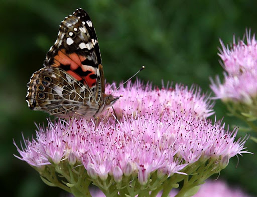 Sedum bloom and Painted Lady