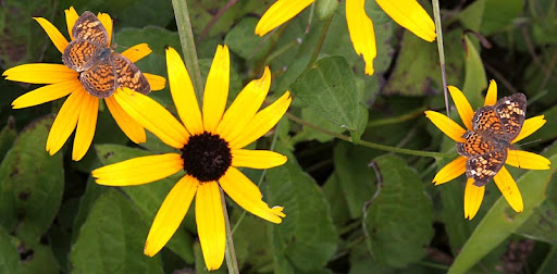 black-eyed susans and pearl crescents