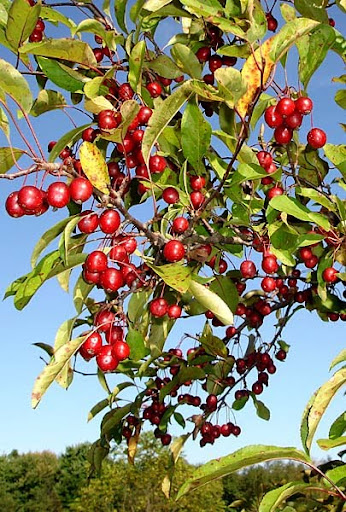 crab apple tree (Malus 'Prairie fire')