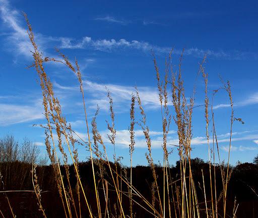 Indiangrass (Sorghastrum natans)