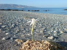 Pancratium maritimum Κουφονήσι Κρήτης