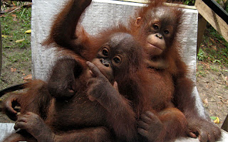 Rescued baby orangutans Jakc and Ledi