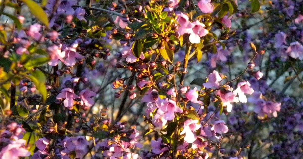 El jard n de margarita arbustos con aroma - Arbustos para jardin ...
