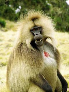 monyet gelada