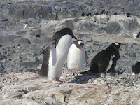 Gentoo pinguïn op Jougla Point
