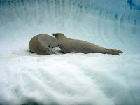 Krabeter zeehond