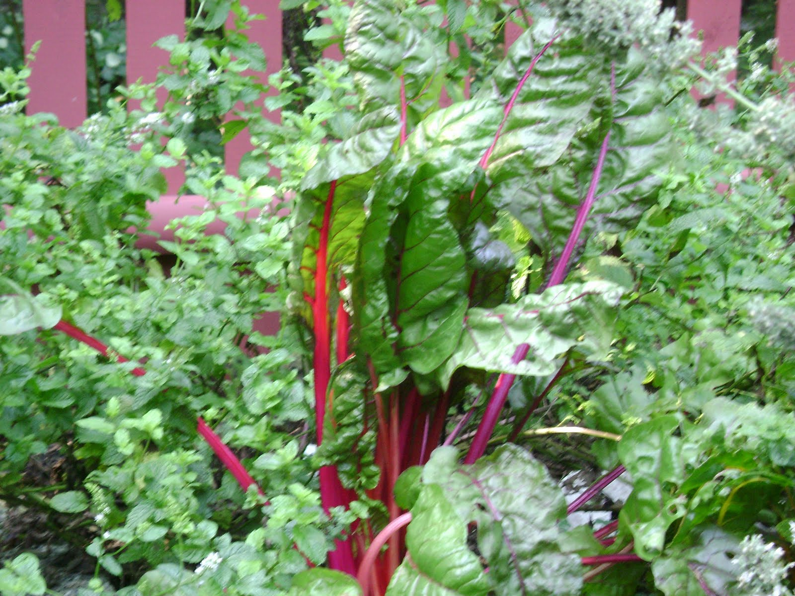 how to eat red chard