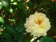 trandafirul preferat
