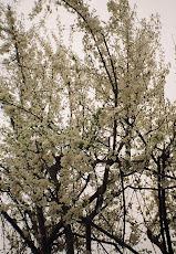 Corcoduş, Cugir, aprilie