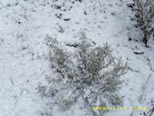 levănţica ninsă