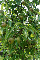 one of our 3 pear trees