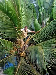 Dans le cocotier…
