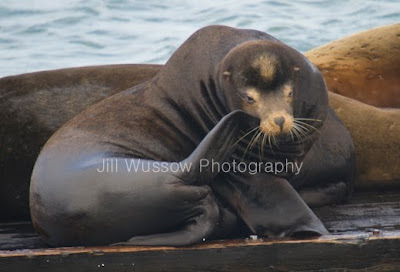Count Your Chicken We Re Taking Over Sea Lion Snuggle