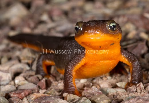 how to look after a fire belly newt