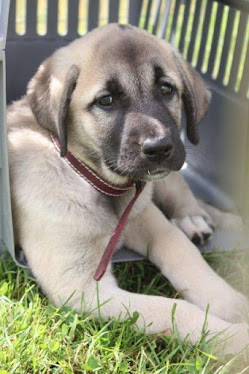 Kangal Dog Puppy