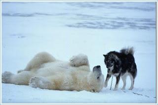 полярныt медведb