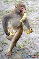 Crazy Photo Monkey having Banana