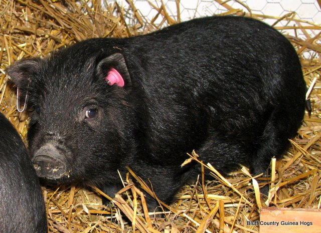 Guinea Hogs Are Great Foragers