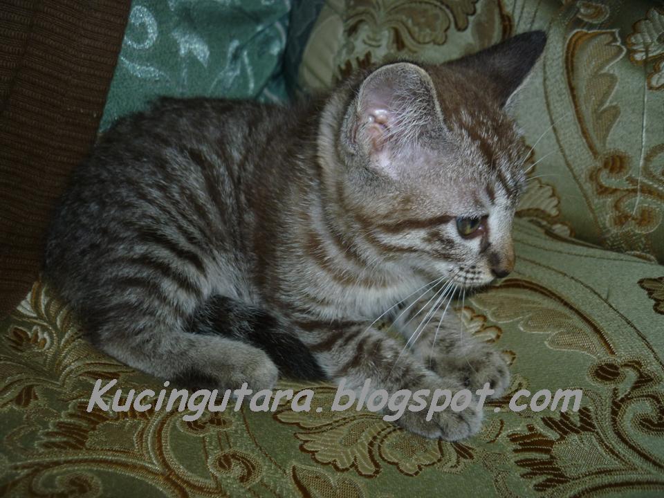 Kucing Utara Anak Kucing Bermata Biru