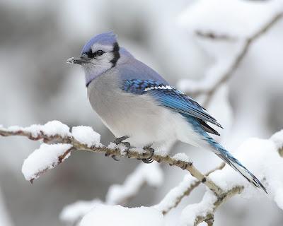 pasare foarte frumoasa ninge fulgi