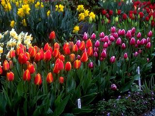 flori lalele livada