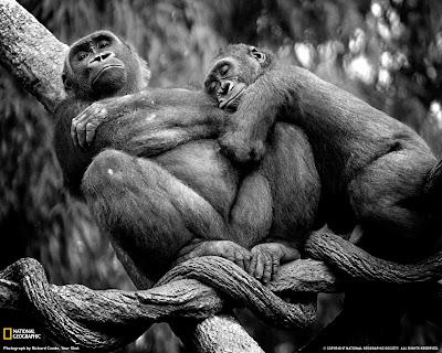 Gorile Zoo