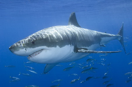 Scientists track 2 great white sharks off coast : News