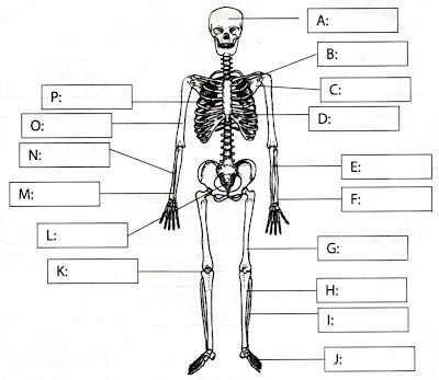 human skeleton labeled. THE HUMAN SKELETAL SYSTEM